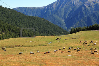 Alpine pasture in northern Italy.