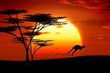 kangoroo sunset australia