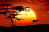 kangoroo sunset australia