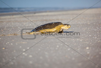 turtle at the beach