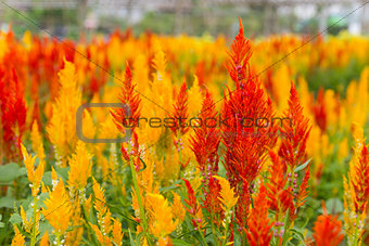 Celosia Cristata flower