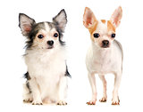 Two Chihuahua long-haired and short-haired