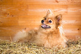 Pomeranian dog on a straw