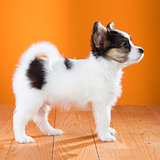 Papillon Puppy standing