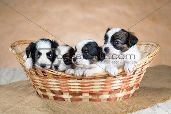 Four little Papillon puppy