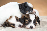 three little Papillon puppy sleeping 