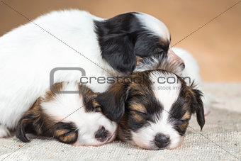 three little Papillon puppy sleeping