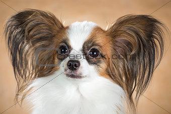 Portrait of dog breeds Papillon close up