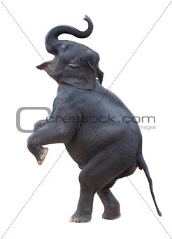 isolated elephant standing with white background