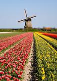 tulips and windmill 6