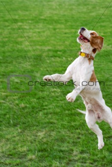 Jumping Cocker Spaniel.