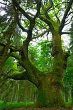 Big oak.