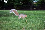 Squirell in Central Park, NY
