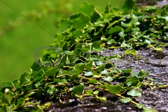 Green creeping ivy