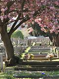 Blossom in cemetery