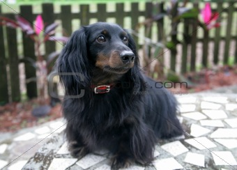 Dachshund Portrait Outdoors