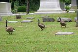 Graveyard Geese 2