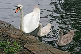 Mother Swan & Babies