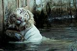 white bengal tiger in his activity