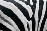 zebra skin fur texture