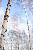 woods of birch