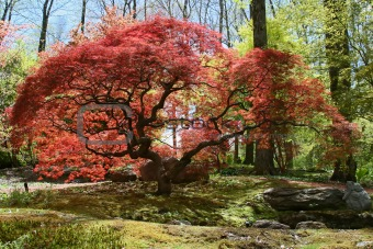 image 519171 japanese maple tree from crestock stock photos. Black Bedroom Furniture Sets. Home Design Ideas