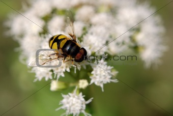 Hover Fly (Eristalis)