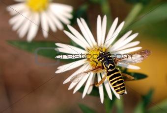 Syrphid Fly (Spilomyia)