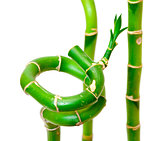 Lucky Bamboo Plant (Dracaena sanderiana)