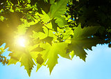 Green leafe  of maple in sunny day.