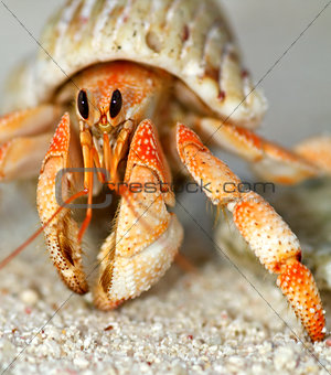 Beautiful hermit crab in his shell close up