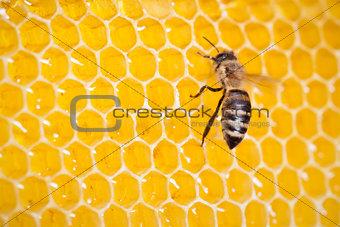 bee in honeycomb macro