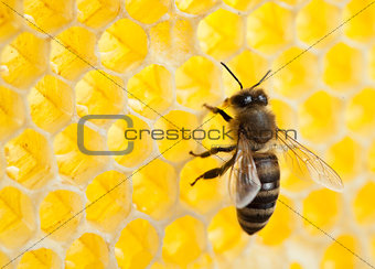 bee in honeycomb close-up shot