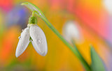 Fresh snowdrop