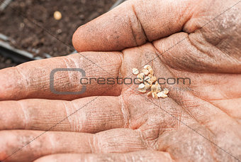 Sowing Tomato Seeds into Soil.