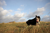 A border collie walking