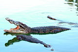 Asia Crocodile