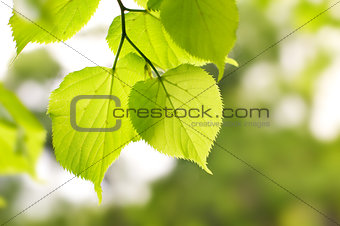 birch green leaves