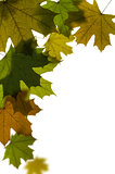 maple tree leaves background