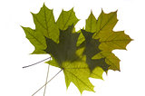 maple tree leaf