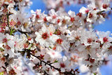 branch of a blossoming peach