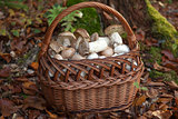 Basket full of freshly picked mushrooms