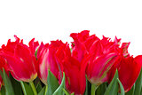 red  tulips border