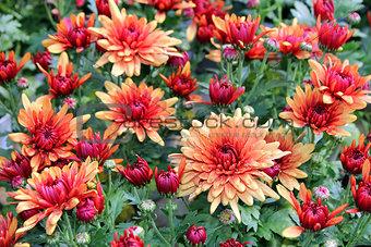 fresh chrysanthemums