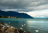 white swans on Lake Geneva, Switzerland
