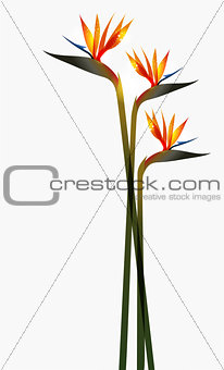 Bird of Paradise flower isolated