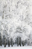 Russian winter in Birch Grove