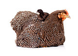Fluffy black baby chicken sitting on top of mother hen