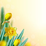 Narcissus background.