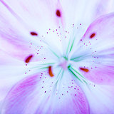 Lilly flower background